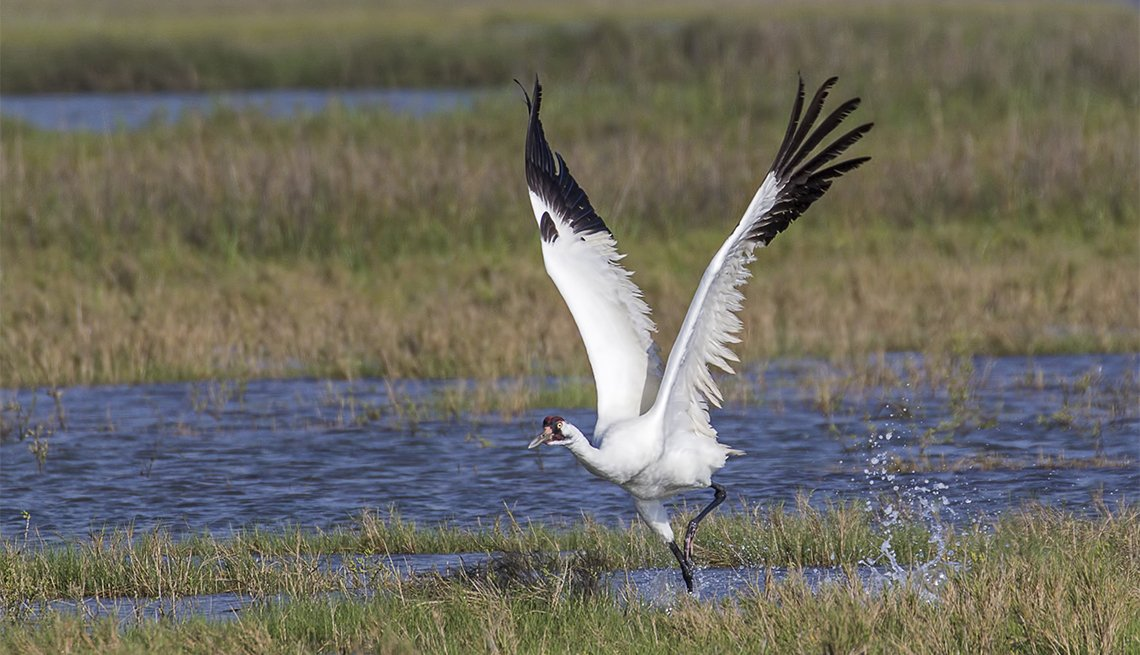 item 6 of Gallery image - A Whooping Crane about to take flight in marshland