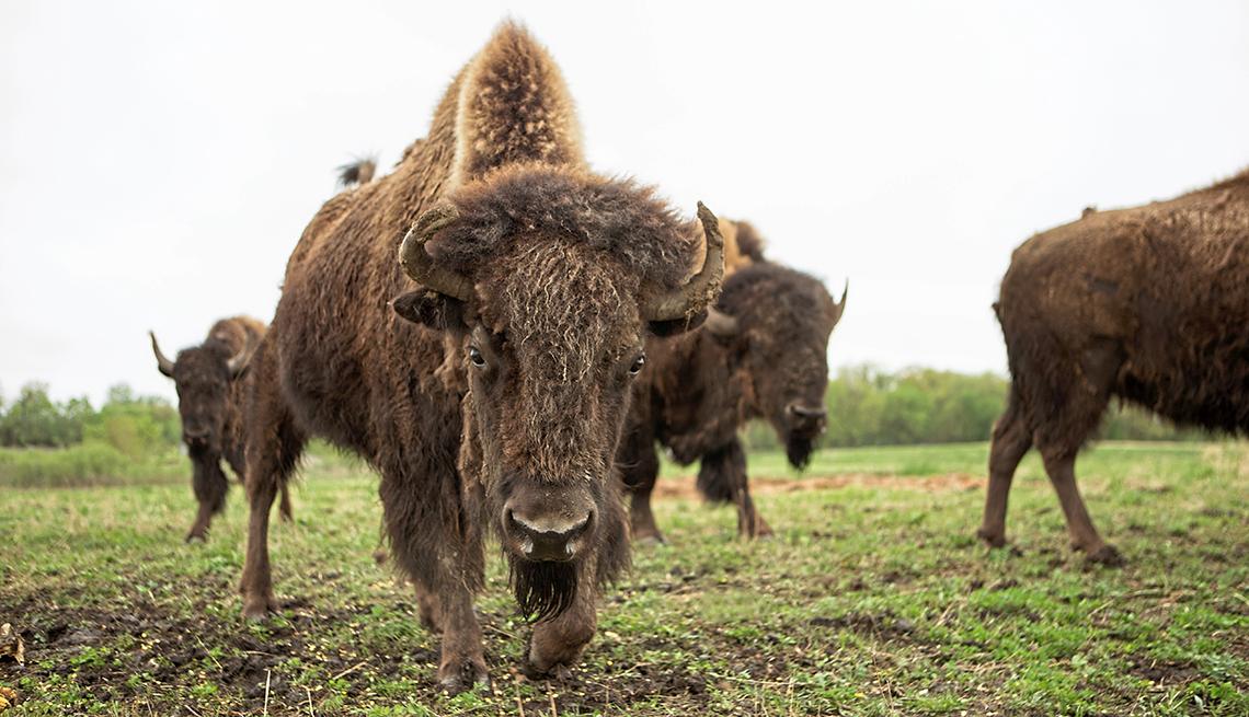 Grupo de bisontes americanos