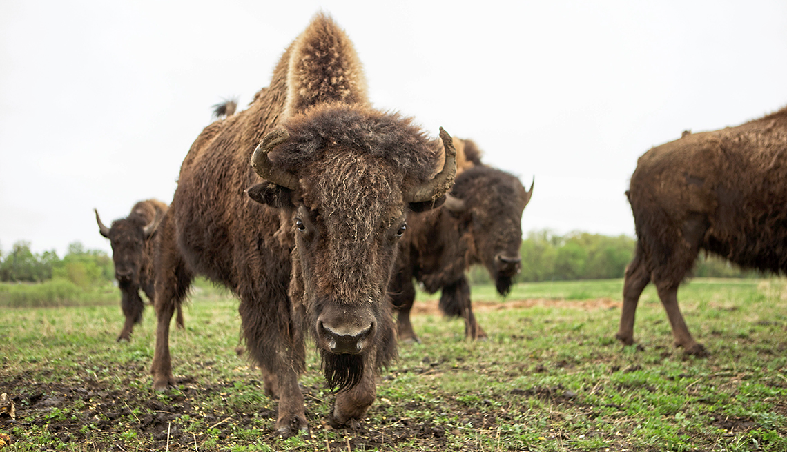 American Bison grazing on the prairie lands of Minnesota