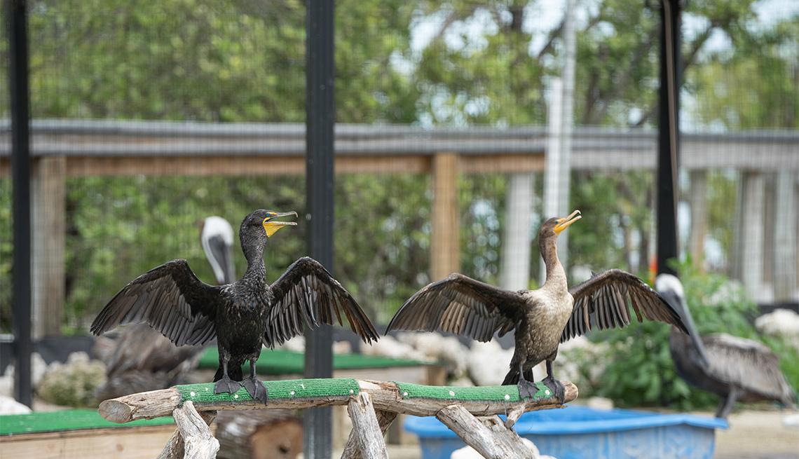 Pájaros en un centro de rehabilitación en los Cayos de Florida