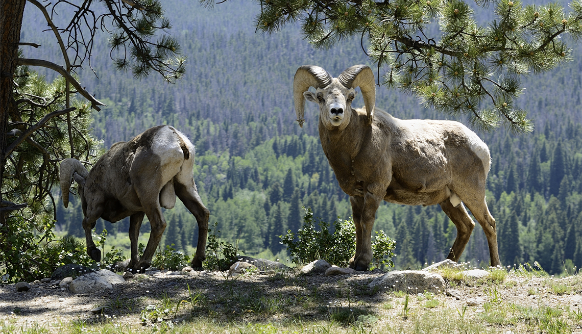 item 4, Gallery image. Visitors may spot bighorn sheep grazing in the park (or crossing the roads) in late spring and summer.