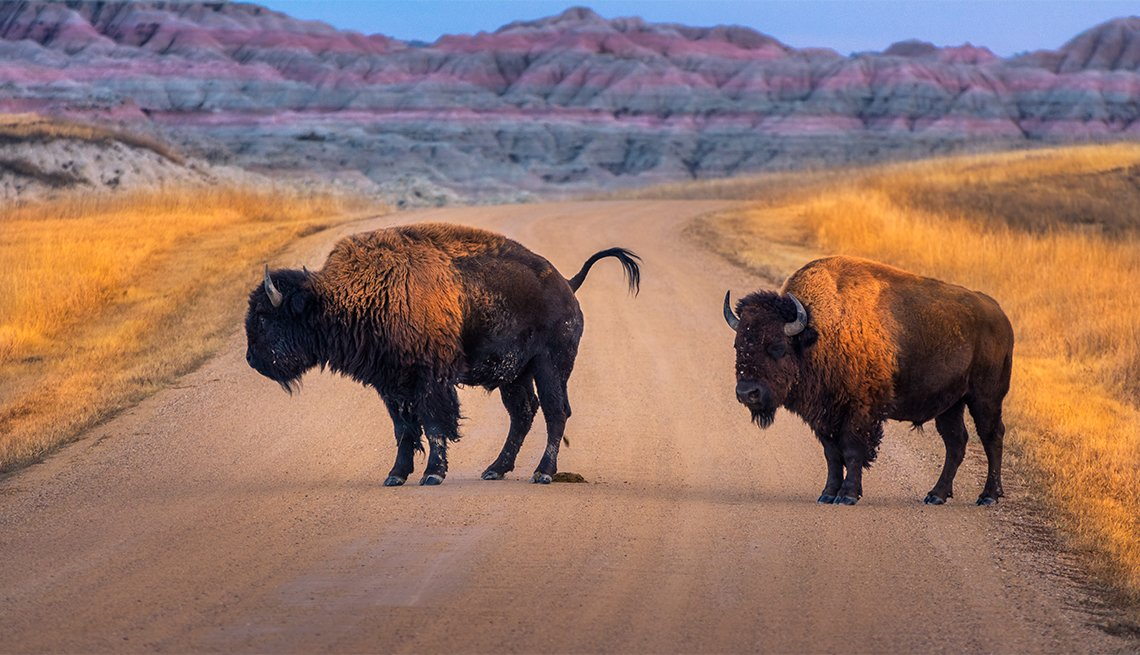 a pair of bison standing in the middle of the road at Badlands National Park