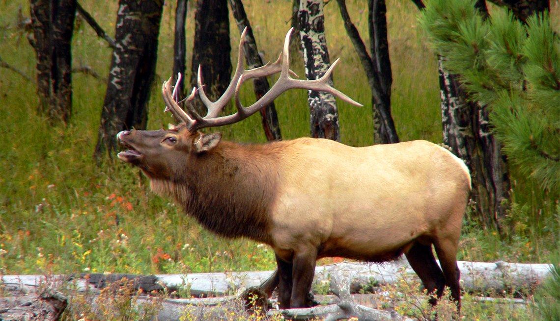 item 3 of Gallery image - Un alce toro en el Parque Nacional Rocky Mountain