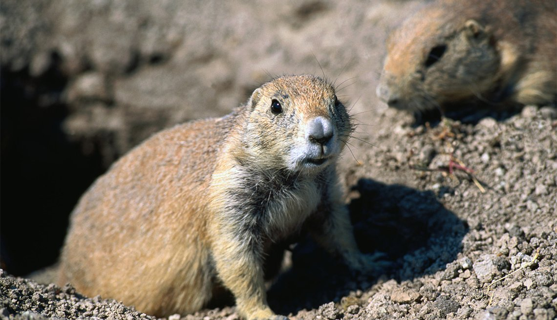 item 3 of Gallery image - prairie dogs at Badlands National Park