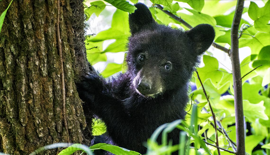 item 6 of Gallery image - Un cachorro de oso negro trepa a un árbol