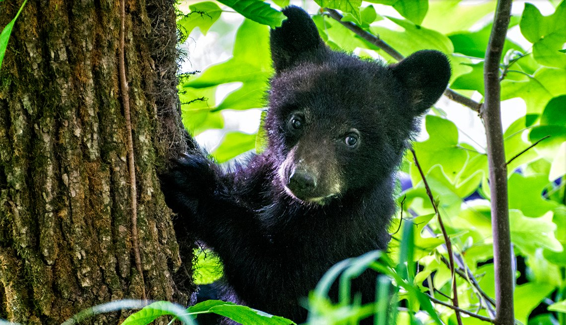 item 6 of Gallery image - A black bear cub climbs a tree with his mom watching from below.  Cades Cove section of the Great Smoky Mountains National Par