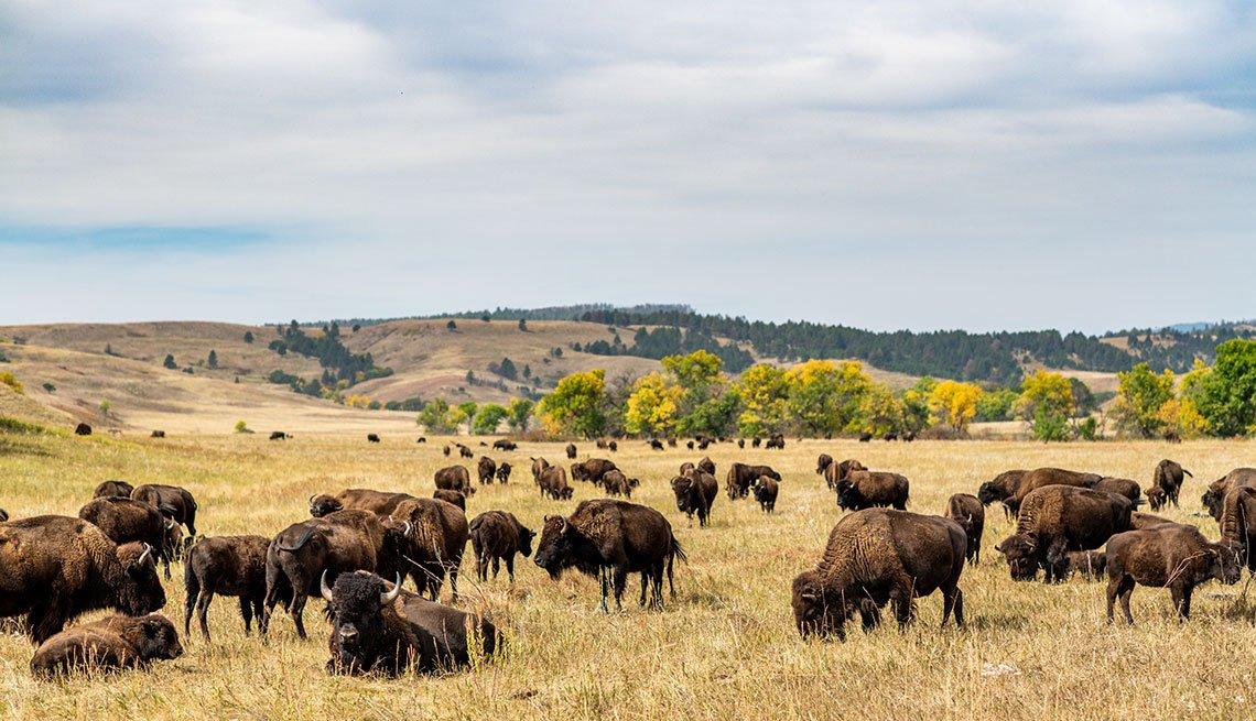 Grupo de Bisontes en una pradera del Parque Estatal de Custer
