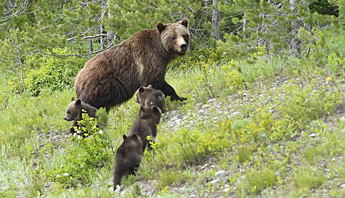 """item 6 of Gallery image - Un oso grizzly llamado """"399"""" camina con sus cuatro cachorros por la carretera"""