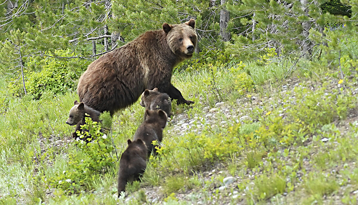 """item 6 of Gallery image - A Grizzly bear named """"399"""" walks with her four cubs along the main highway"""