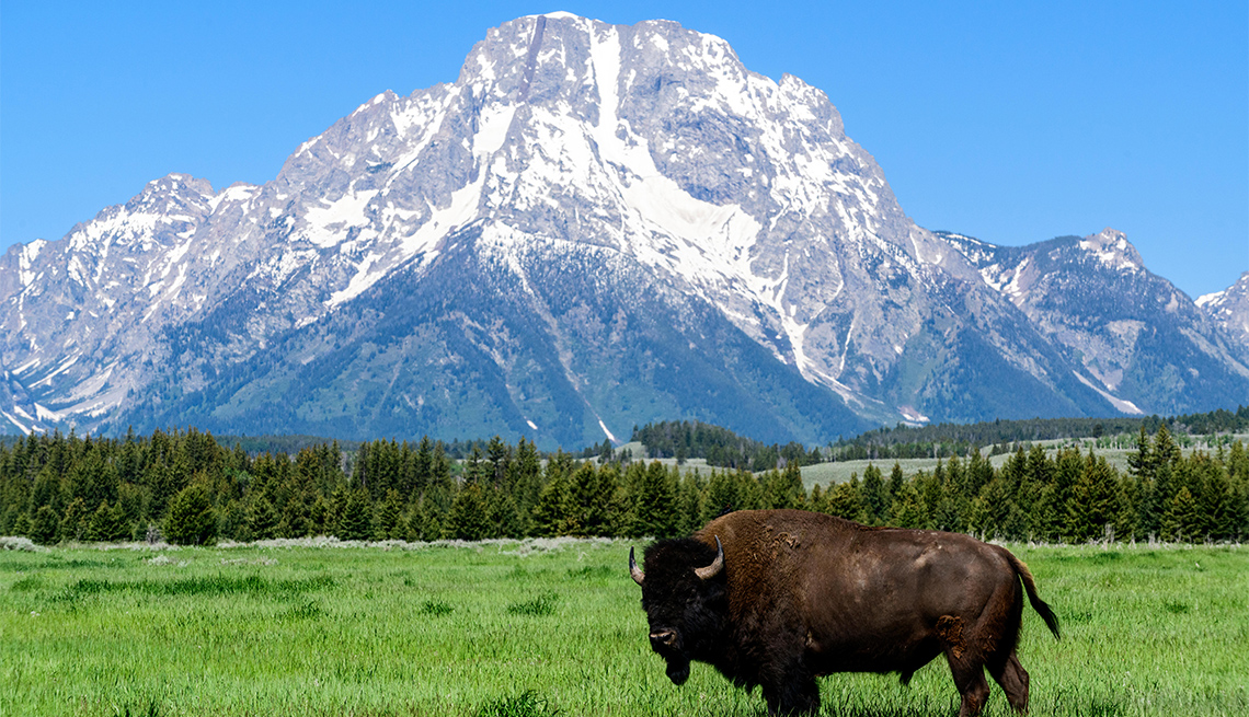 item 2 of Gallery image - A bison in a field with Mt. Moran in the background in Grand Teton National Park