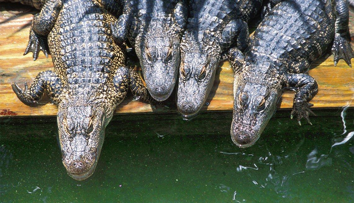 item 6 of Gallery image - Cocodrilos bebés en Gatorland, Orlando, Florida.