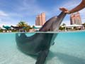 Trainer with Atlantic Bottlenose Dolphin at Dolphin Cay, Atlantis, Paradise Island Resort, Bahamas