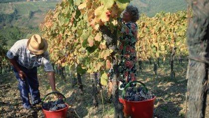 Trabajadores de la cosecha de uvas en un viñedo en la región de Chianti Classico de la Toscana, Italia.