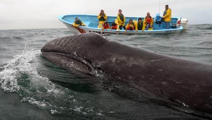 Las ballenas en Baja California