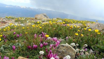Flores silvestres en el monte Elbert, en las Montañas Rocosas de Colorado. Gran destino para este verano