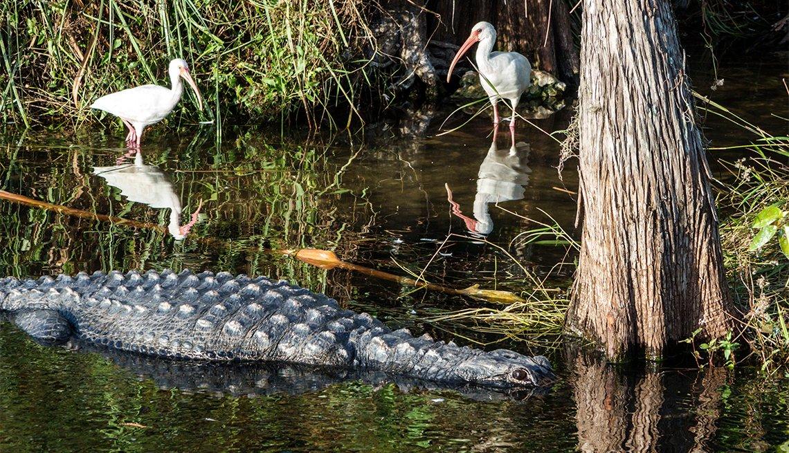 un cocodrilo y dos pájaros en los Everglades