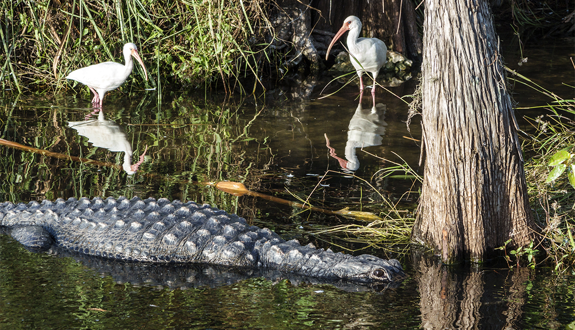 alligator and white bird in The Everglades