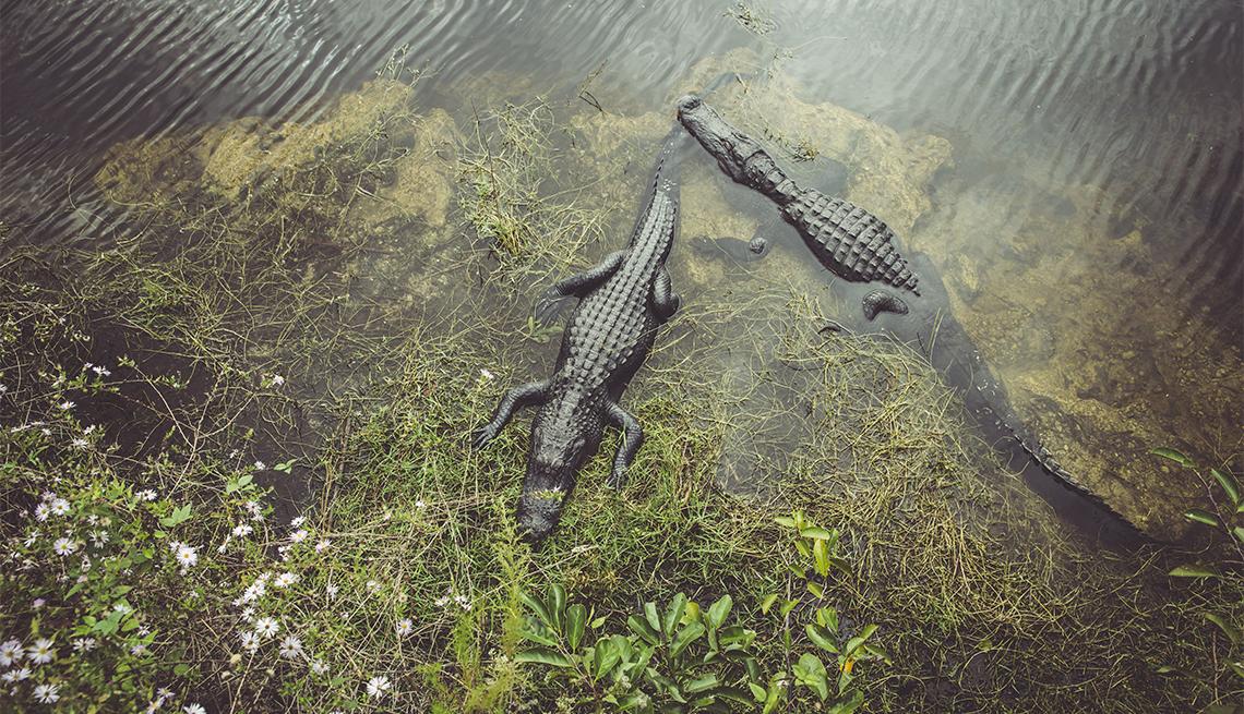 item 4 of Gallery image - Alligators at the Everglades