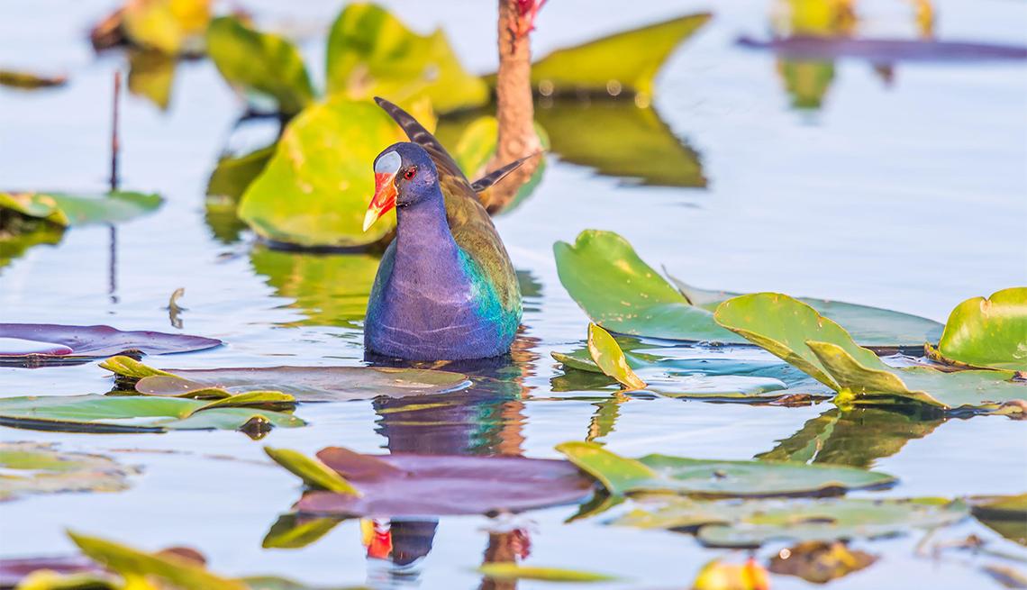 item 6 of Gallery image - Gallinule púrpura americana en los Everglades
