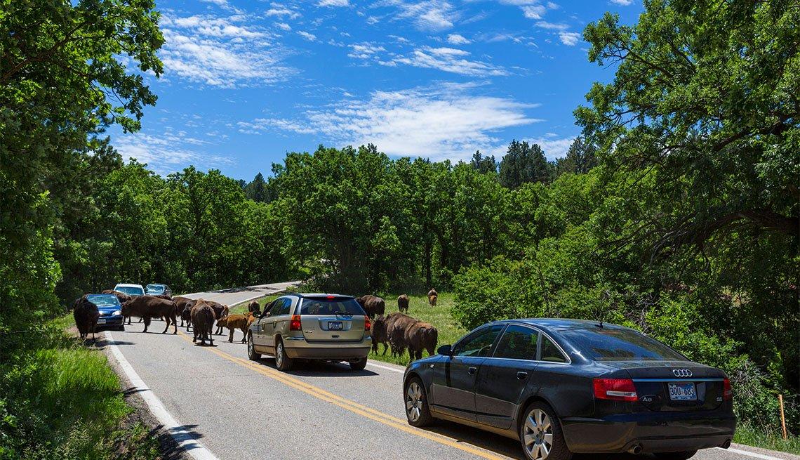 Herd of Bison on Wildlife Loop Road in Custer State Park