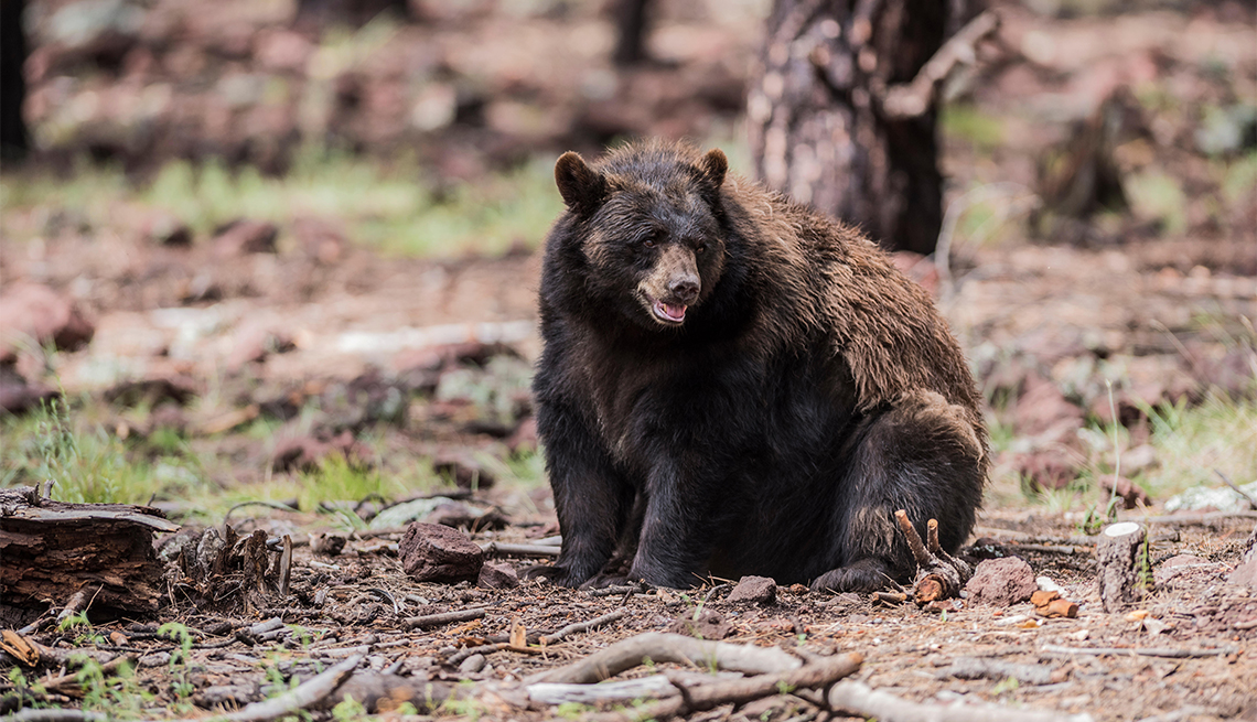 item 6 of Gallery image - Oso negro americano en el Parque Nacional Yosemite