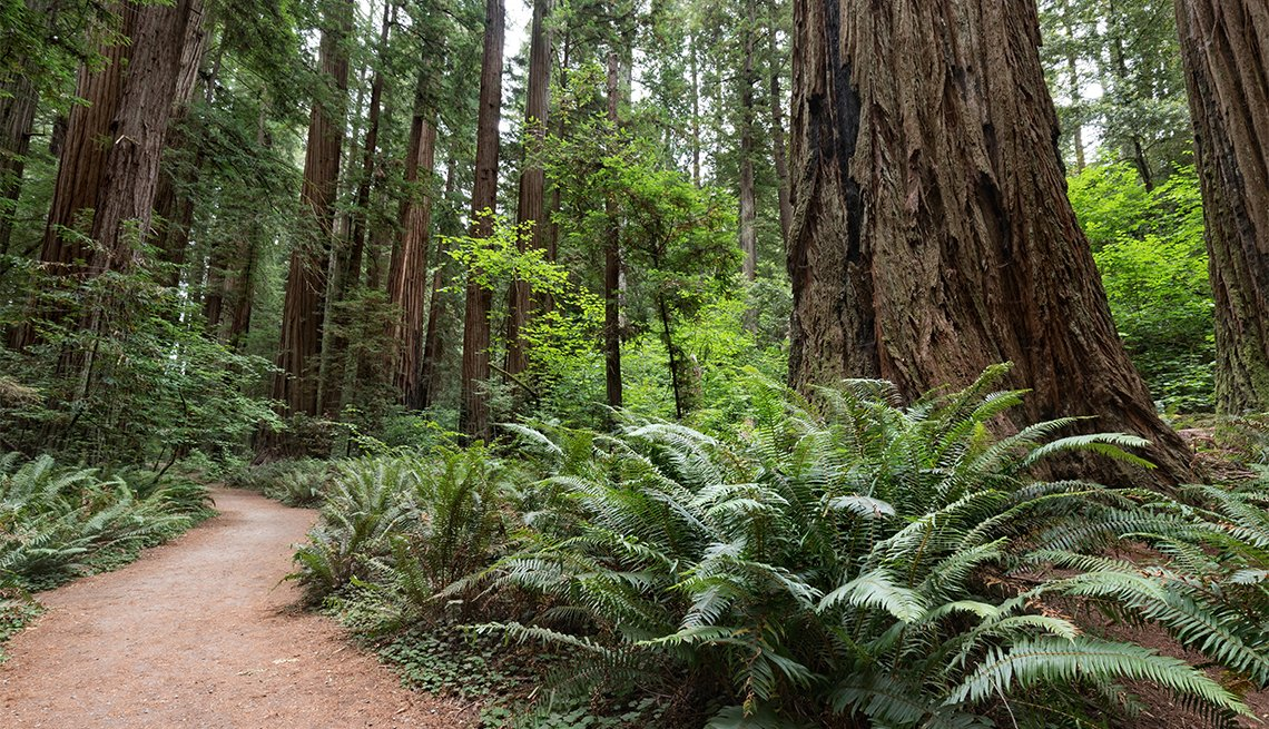 Giant Redwood Trees on Stout Grove Trail, Jedediah Smith Redwoods State Park