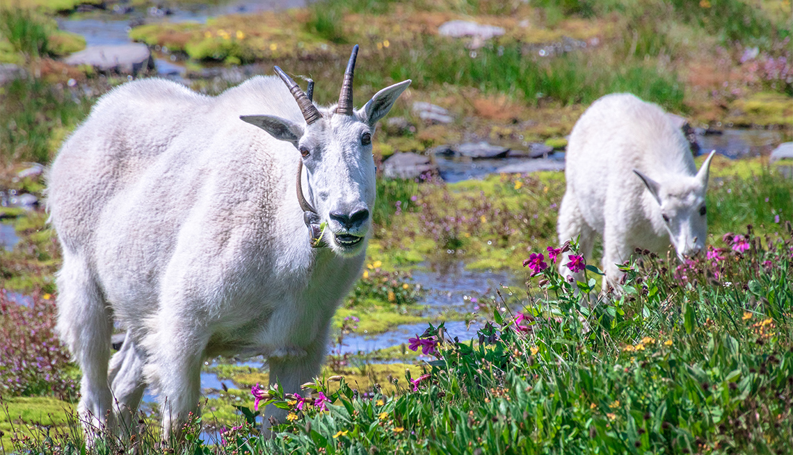 item 3 of Gallery image - mountain goats at Glacier National Park