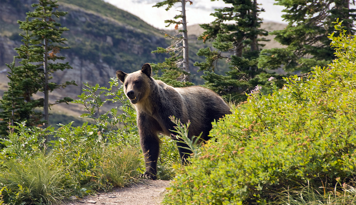 item 6 of Gallery image - A grizzly bear at Glacier National Park