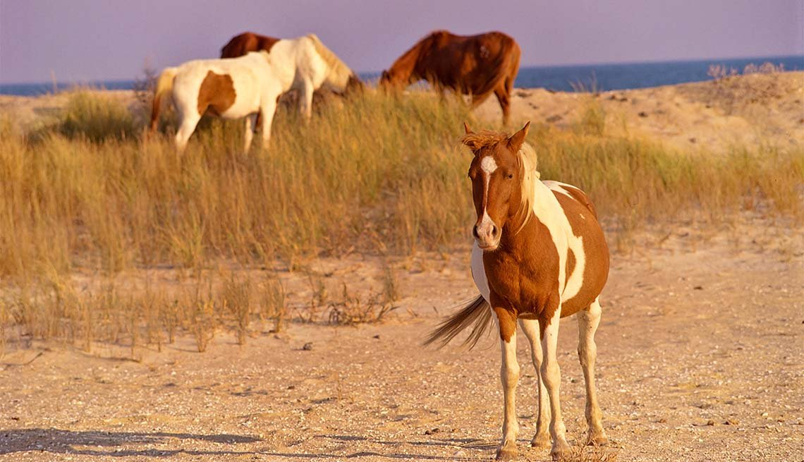 item 8 of Gallery image - wild ponies at Chincoteague National Wildlife Refuge