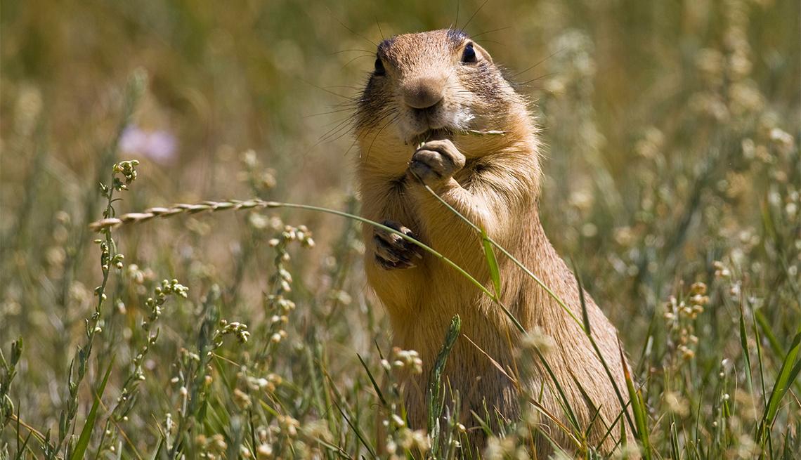 item 6 of Gallery image - Utah prairie dog