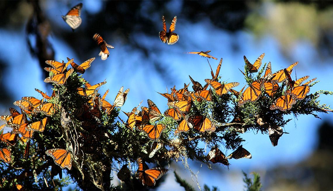 Monarcas migratorias en Monterey Bay, California