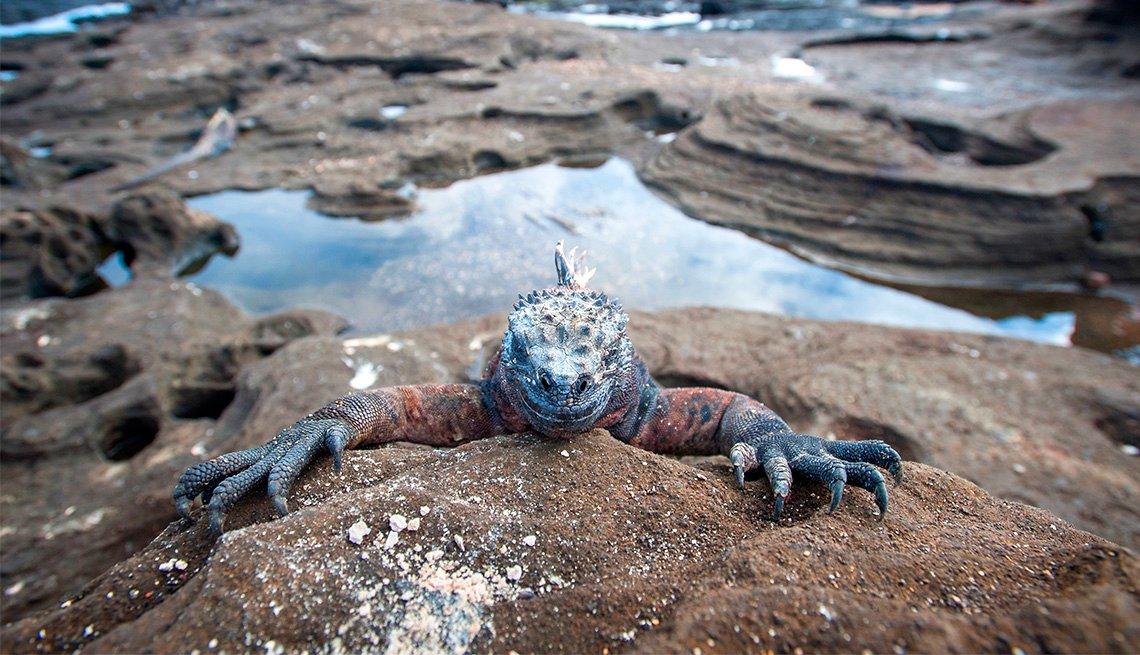 Marine iguana in Galapago Islands in Ecudaor, Inspiring Latin American Trips