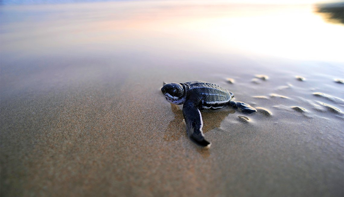 Leatherback turtle enters ocean in Guanacaste, Costa Rica, Inspiring Latin American Trips