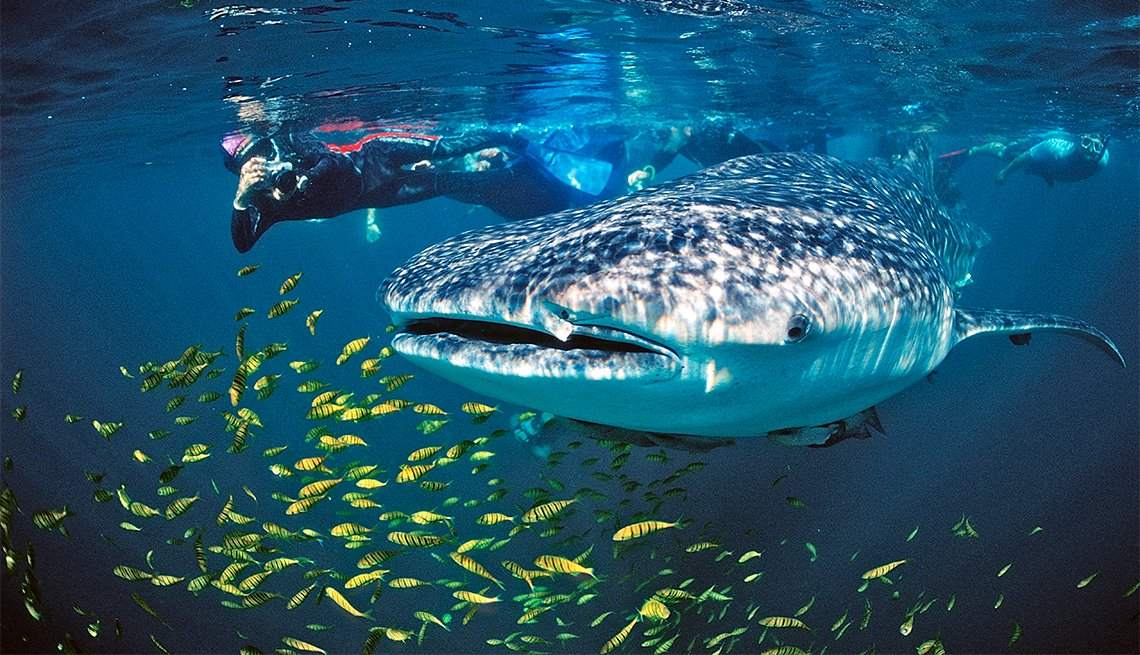 Whale shark in the Sea of Cortez off Mexico, Inspiring Latin American Trips