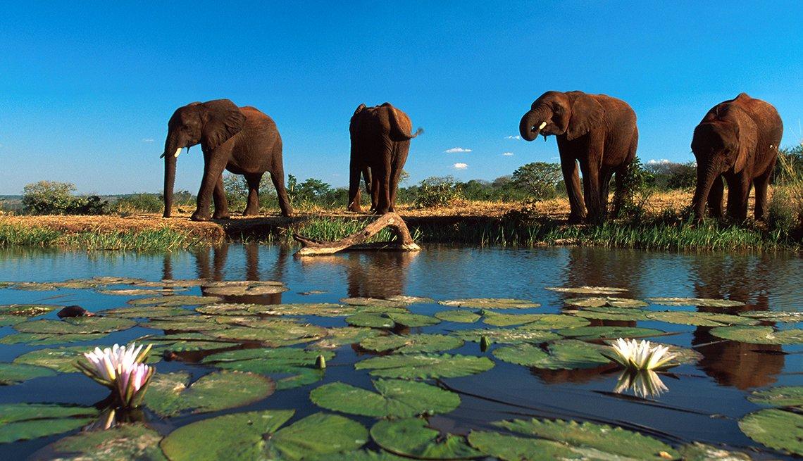 African Bush Elephants drinking near Victoria Falls, Zimbabwe, Top International Destinations