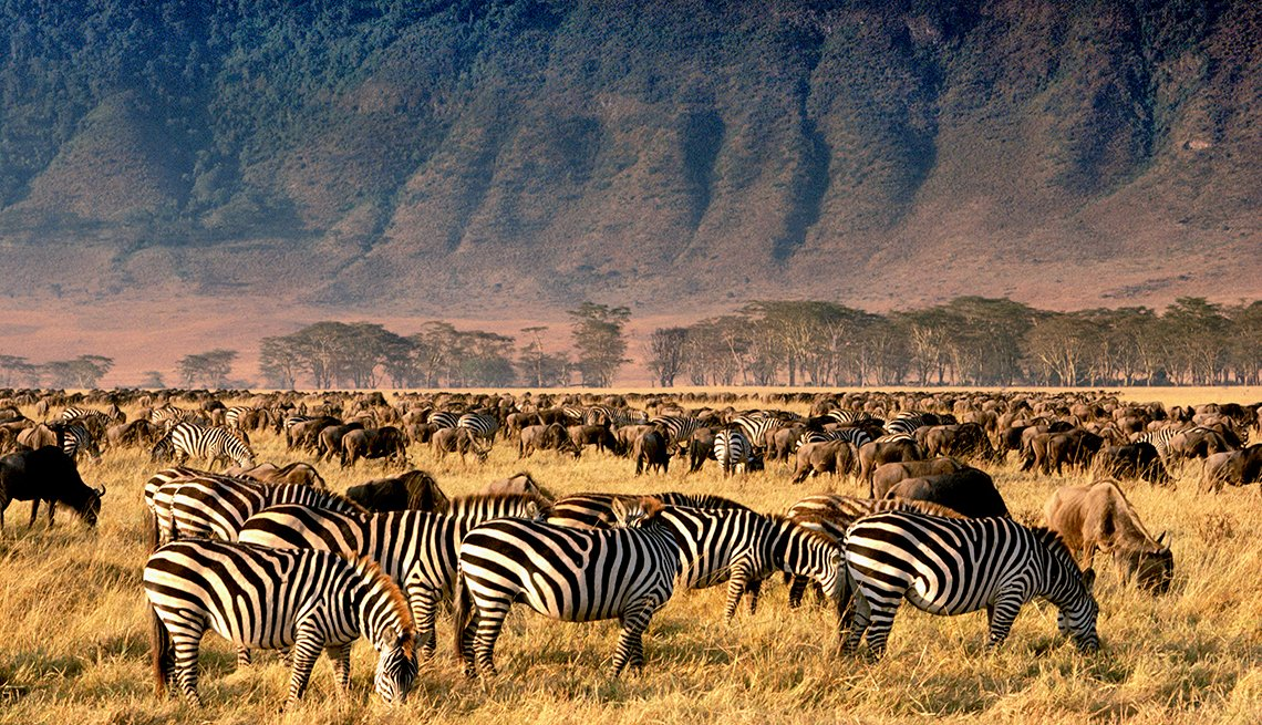 Zebras and Wildebeests Grazing in Ngorongoro Conservation Area in Tanzania, International Bucket List Destinations