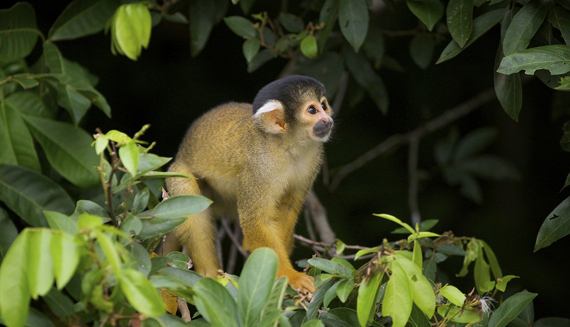 A Yellow Squirrel Monkey In The Madidi National Park In Bolivia, Latin American Natural Wonders
