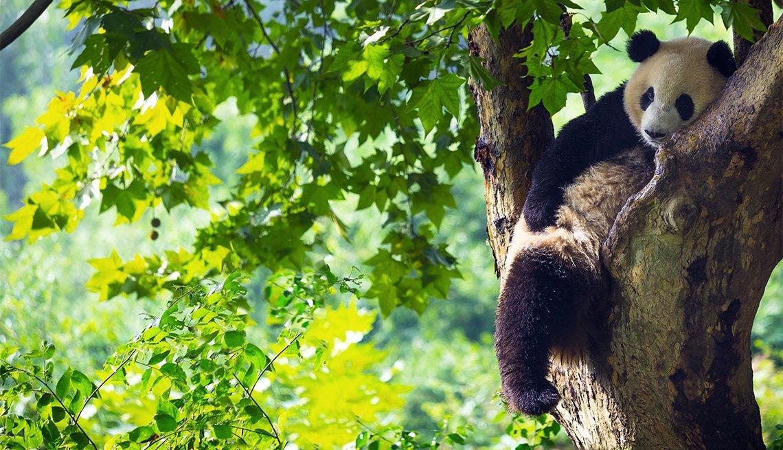 item 10 of Gallery image - Oso Panda en un árbol, Chengdu, China