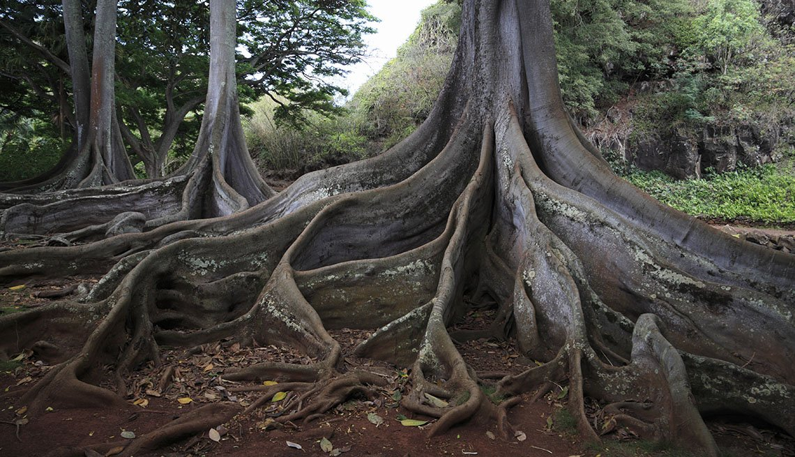 Huge Tree And Roots At The Allerton Gardens In Kauai Hawaii, Amazing USA Gardens