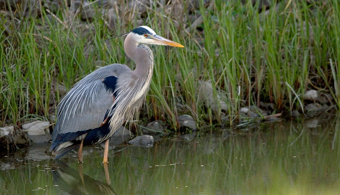 A Blue Heron Bird Stands In Water At Maumee Bay In Oregon Ohio, Best Fishing And Boating Spots In USA