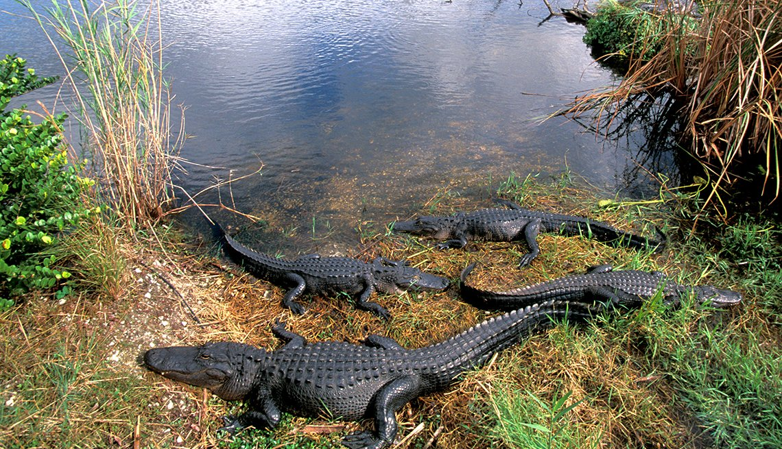 Alligators Sunning Themselves in Everglades National Park in Florida, United States Bucket List Destinations