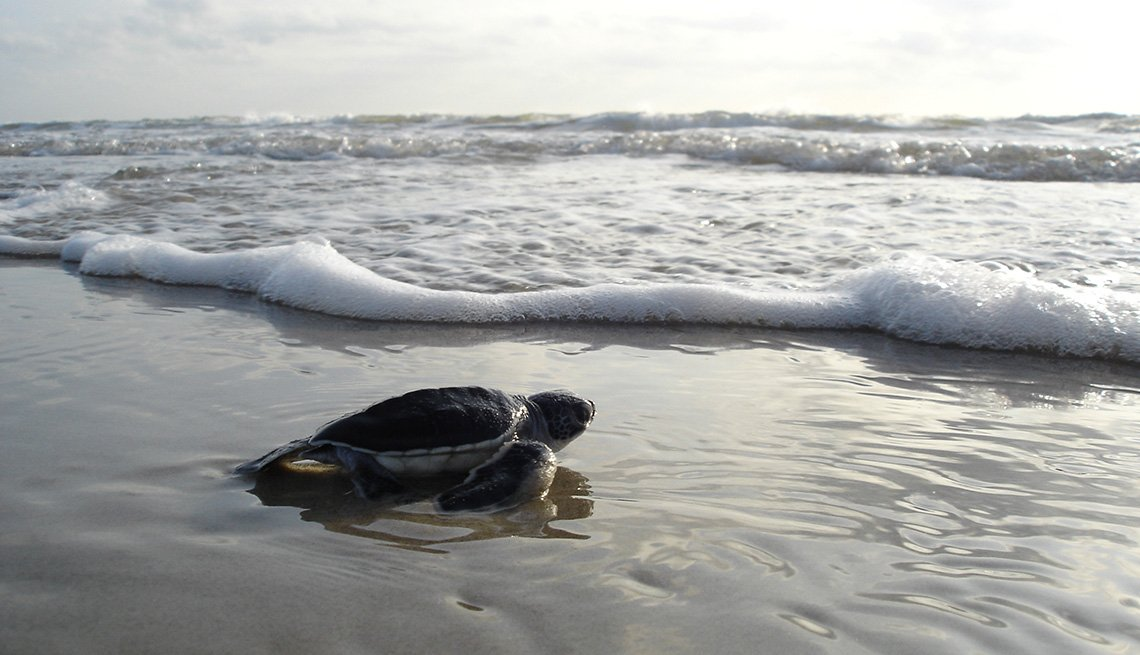 Sea Turtle On Beach At Padre Island National Seashore, Secluded Beaches
