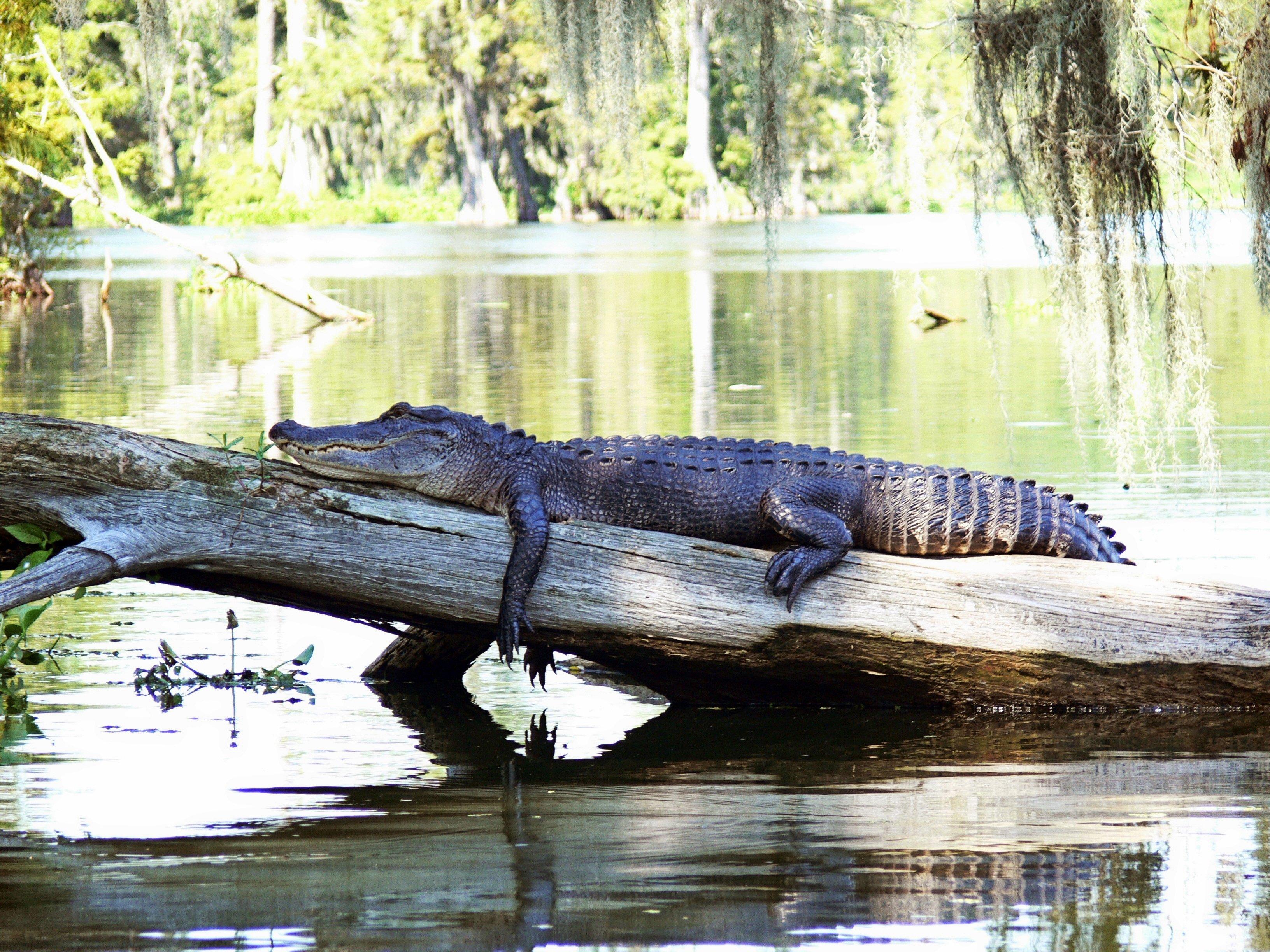 Cocodrilo posa relajado sobre su tronco de árbol en el agua.