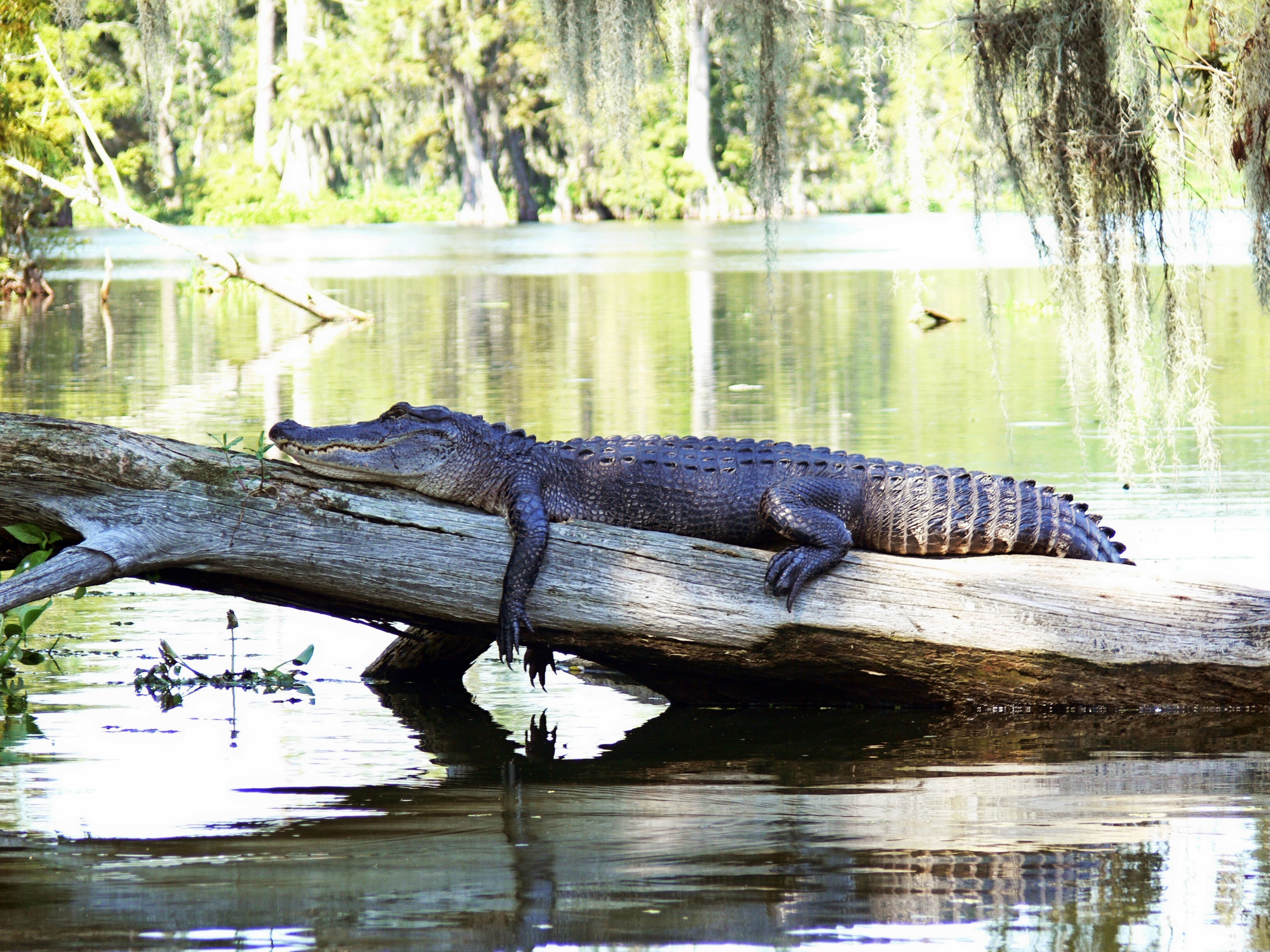 Alligator lounging on tree in a swamp