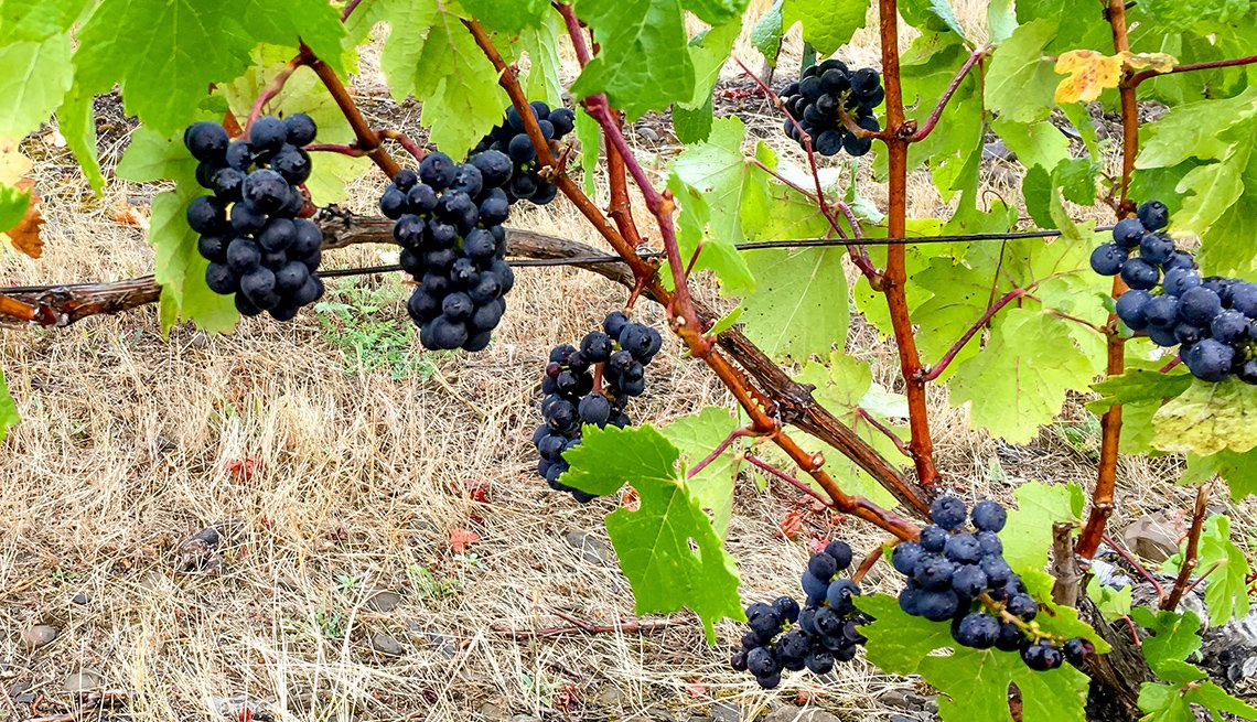 Photograph is of ripe Pinot Noir grapes in Willamette Valley