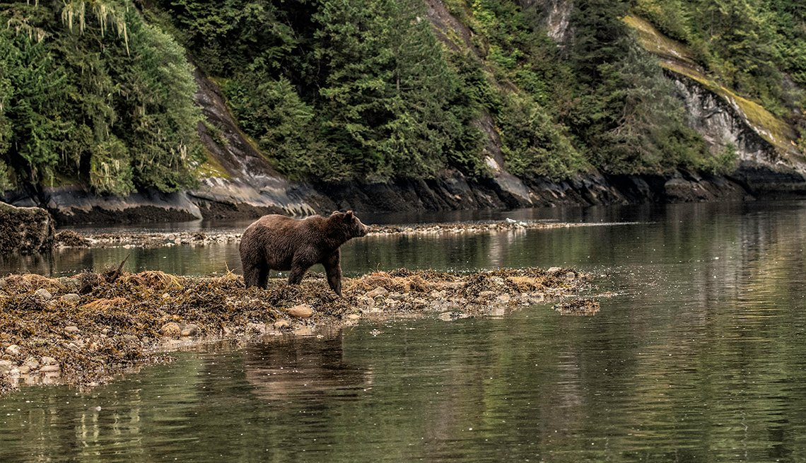 Grizzly standing on a beach in the Great Bear Rainforest with its reflection in the water