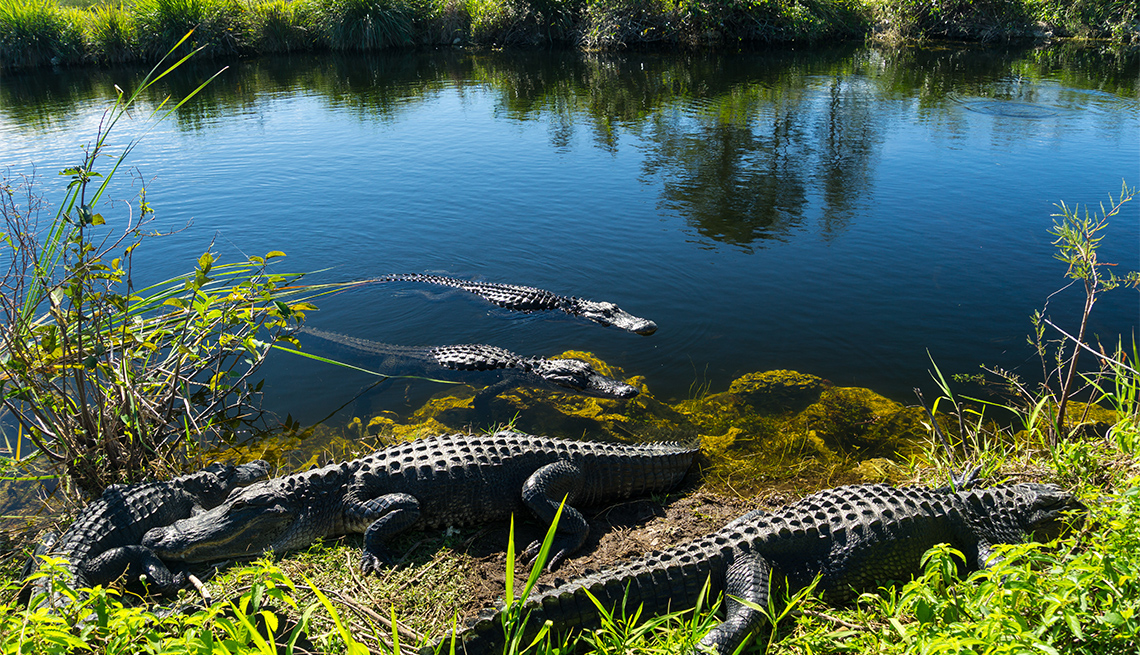 item 6 of Gallery image - Herd of crocodiles enjoying the sun in Everglades National Park