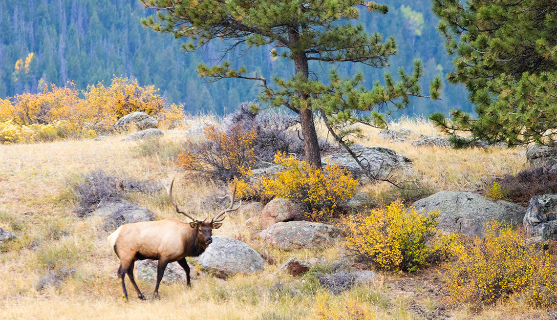 item 2 of Gallery image - Majestic bull elk in the golden colors of autumn on a beautiful Rocky Mountain autumn evening.