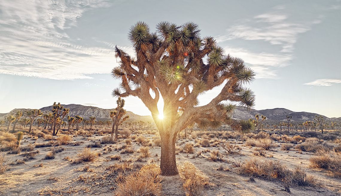 item 3 of Gallery image - sunrise filtering through the famous joshua trees