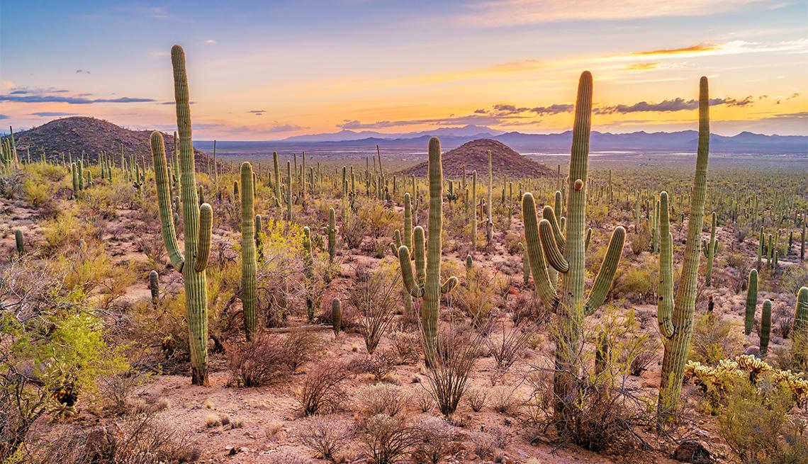Bosque de cactus saguaro en el Parque Nacional Saguaro